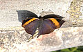 Orange Oakleaf Kallima inachus by Dr. Raju KasambeIMG 2835 (8).JPG