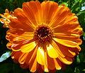 Orange flower (7433774546).jpg