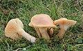 Orangefarbene Wiesen-Ellerling Cuphophyllus pratensis Hygrocybe pratensis.JPG