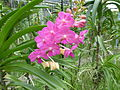 Orchids in Thailand 2013 2734.jpg