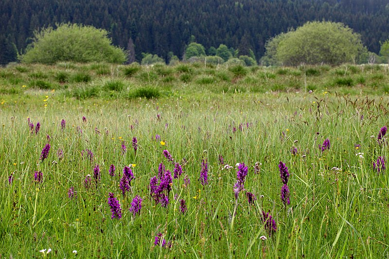 File:Orchis et touradons.jpg
