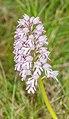 Orchis x hybrida in Causse du Larzac (3).jpg