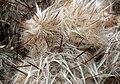 Oreocereus trollii 2.jpg