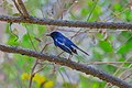 Oriental magpie-robin, Rabindra Sarobar DSF5281.jpg