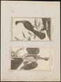 Ortalida motmot - 1700-1880 - Print - Iconographia Zoologica - Special Collections University of Amsterdam - UBA01 IZ16900097.tif