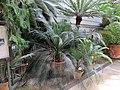 Orto botanico, fi, serra fredda, cicadee 02.JPG