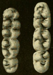Two toothrows consisting of three molars