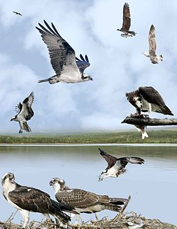Osprey from the Crossley ID Guide Britain and Ireland