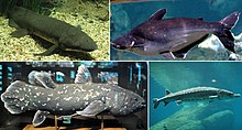 Example of Osteichthyes: Queensland lungfish and West Indian Ocean coelacanth (two Sarcopterygii), Iridescent shark and American black sturgeon (two Actinopterygii).