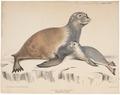 Otaria lobata - 1700-1880 - Print - Iconographia Zoologica - Special Collections University of Amsterdam - UBA01 IZ21100097.tif