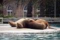 Otarie de Californie (Zoo Amiens)a.JPG