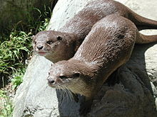Otters in Wellington Zoo.jpg