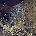 Owl (47654406591).jpg