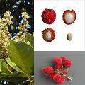 Owoce Pulasan.jpg