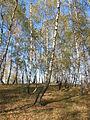 Pădurea de argint Dobreni 04.JPG