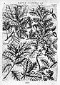 "P. Reneaulme ""Specimen ...plantarum""; oak leaves Wellcome L0007878.jpg"