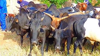 Rumphi - Weekly cattle market in Rumphi