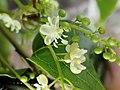 PB159650 Trichostigma octandrum (Petiveriaceae).jpg