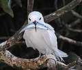 PMNM - White Tern (28206858596).jpg