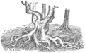 PSM V79 D457 Tree roots resisting lateral forces.png