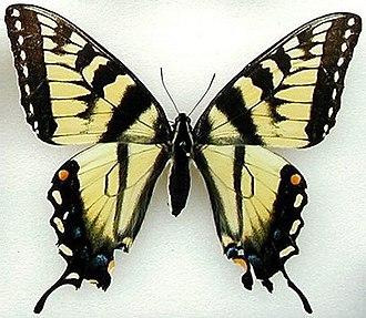 Papilio appalachiensis - P. appalachiensis