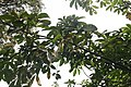 Pachira Aquatica - Feuilles et fruit.jpg