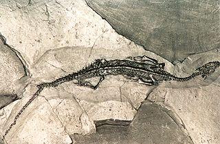 Pachypleurosaur family of Mesozoic aquatic reptiles