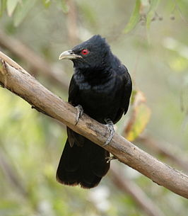 Pacific koel male kob08.JPG