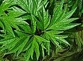 Paeonia vetchii feuille.jpg