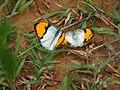 Pair of White Orange-tips (21035938546).jpg