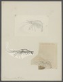 Palaemon serratus - - Print - Iconographia Zoologica - Special Collections University of Amsterdam - UBAINV0274 097 09 0002.tif