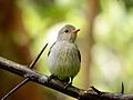 Pale billed Flowerpecker3.jpg