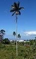 Palmiste Roussel P1090458.JPG