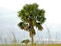 Palmyra Palm (Borassus aethiopum) (6937008812).jpg