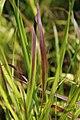 Panicum virgatum Shenandoah 3zz.jpg