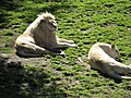 Panthera leo (white) 2014-09-19 2.JPG