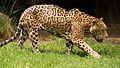 Panthera onca palustris (1).JPG