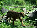 Panthera tigris sumatrae.jpg