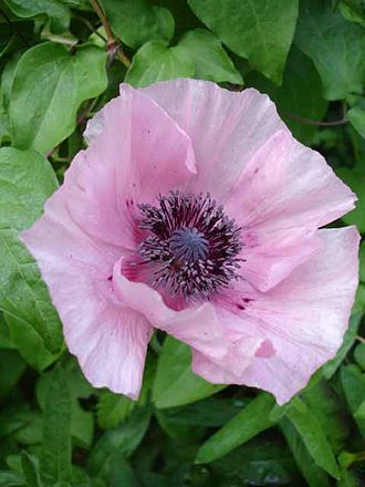 Papaver orientale - Papillon pink