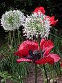 Papaver und weiße Blüte.JPG