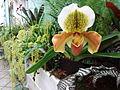 Paphiopedilum cultivars.jpg