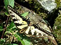 Papilio canadensis (Papilionidae) - (imago), Lamoille (VT), United States - 2.jpg