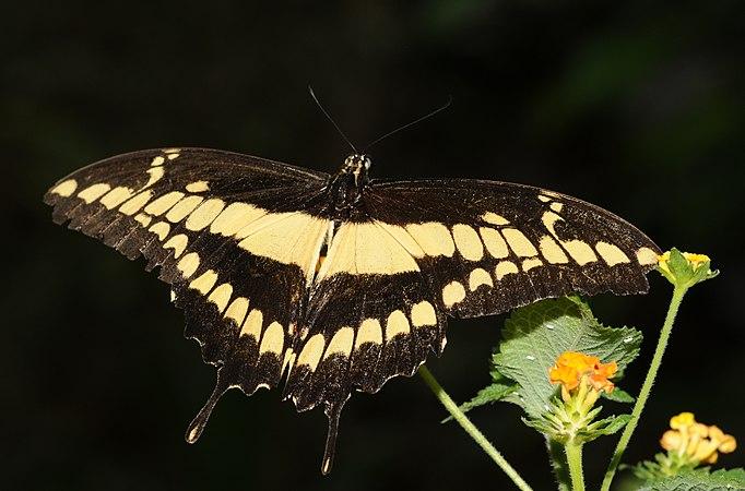 Papilio cresphontes (2).jpg