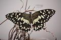 Papilio demoleus 6864.JPG
