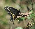Papilio polyxenes asterius P1280067b.jpg