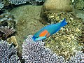Parrotfish in the sea around Tioman 30mtrs from the beach - panoramio.jpg