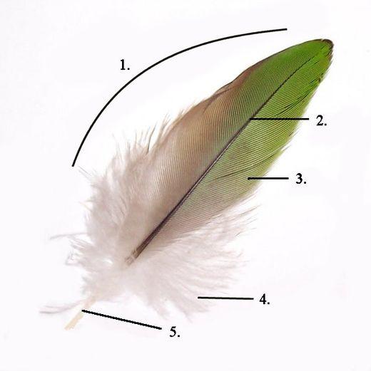 Строение пера: 1 — Опахало. 2