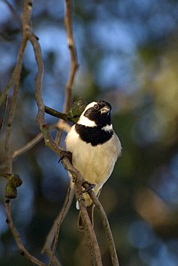 Passer melanurus -South Africa -front -male-8.jpg