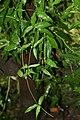 Passiflora incarnata 7zz.jpg