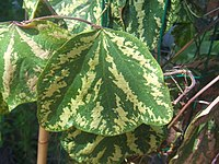 Passiflora organensis1